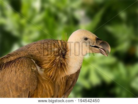 Orange predatory bird griffin on a green background on a sunny day seen every feather