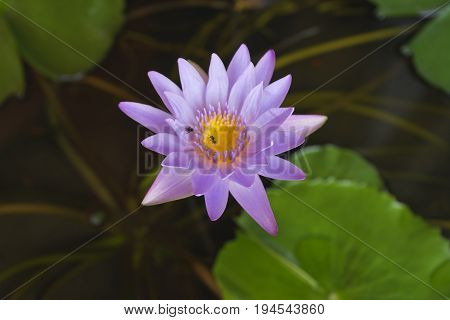 A beautiful purpule lotus and two bees