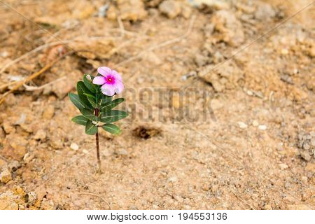 Pink flower stay on brown sand background (Concept for business survival in the crisisenvironment disaster)