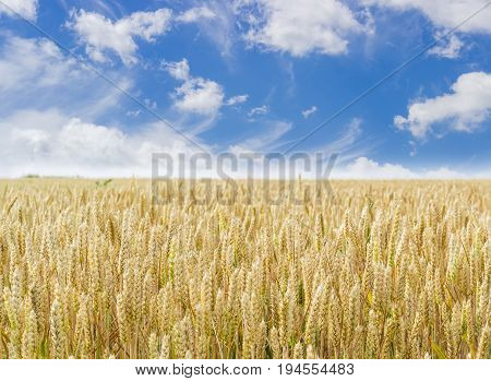 Field of the ripening wheat on the background of the sky with clouds at summer day