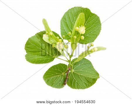 Twig of the flowering linden with leaves flowers and buds on a light background