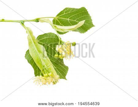 Two inflorescence of the linden on the branch with two leaves closeup on a light background