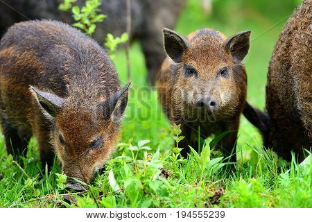 Young Wild Boars In The Spring Forest