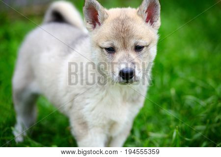 A Beautiful Siberian Laika Puppy On The Grass. Portrait Of Cute Happy Siberian Laika.