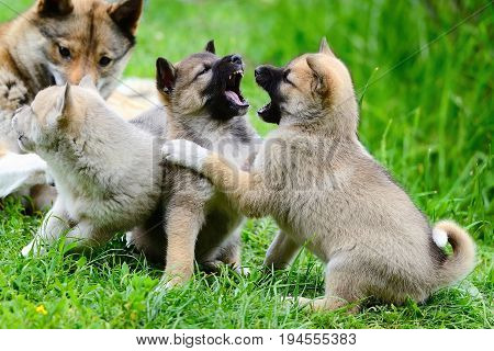 Lovely Charming Puppies Of Laika Breed Play On The Grass