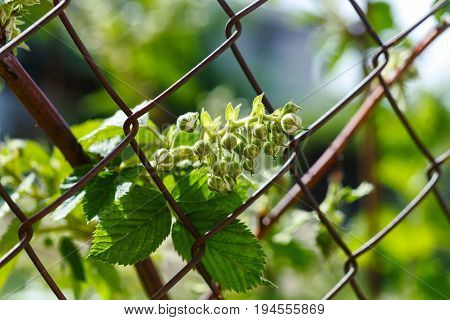 Bunch of blackberries with soft green background. can be used for agriculture food blackberry fruit autumn summer and berry themes