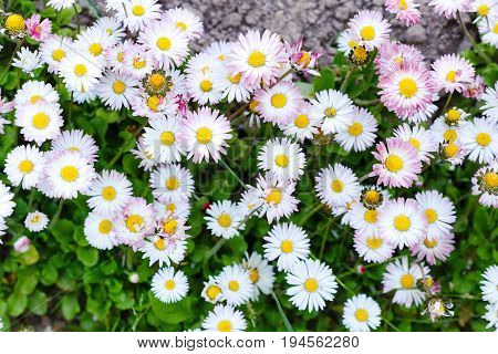 Lovely pink blossom daisy flowers background. daisy