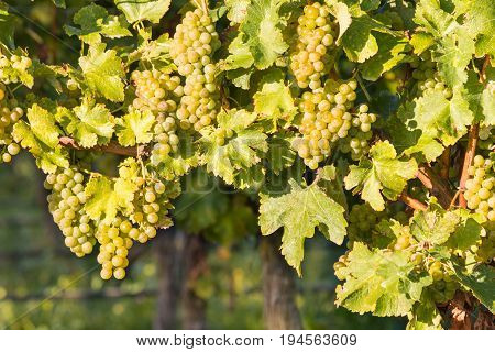 closeup of ripe white Riesling grapes on vine in vineyard