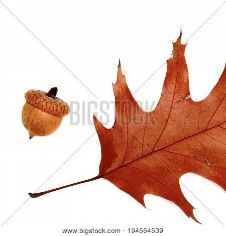 Part Of Autumn Dried Leaf Of Oak And Acorn