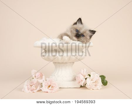 Cute 6 weeks old rag doll baby cat with blue eyes hanging over the edge of an flower pot with white roses and a off-white background