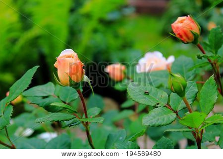 Orange and yellow roses in the garden. The rose buds. Bright orange roses. Caring for garden roses. Rose Bush