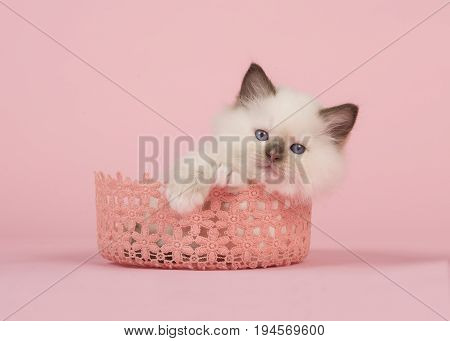Cute 6 weeks old rag doll baby cat with blue eyes lying in a pink lace basket looking at camera on a pink background
