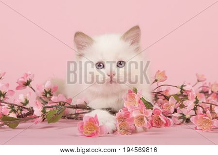 Cute 6 weeks old rag doll baby cat with blue eyes lying on the floor looking at camera between pink flowers on a pink background