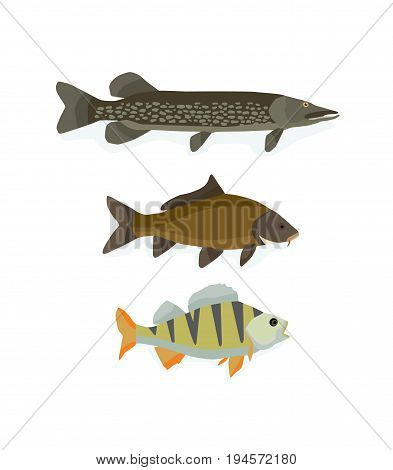 Set of freshwater fish: perch, carp, pike. Ocean, water, sea, river, collection. Varieties of ornamental popular color fish Vector illustration isolated in cartoon style