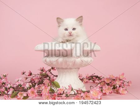 Cute 6 weeks old rag doll baby cat with blue eyes hanging over the edge of a flower pot with pink flowers on a pink background