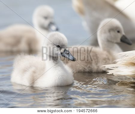 Cygnet swimming on the water behind their parents