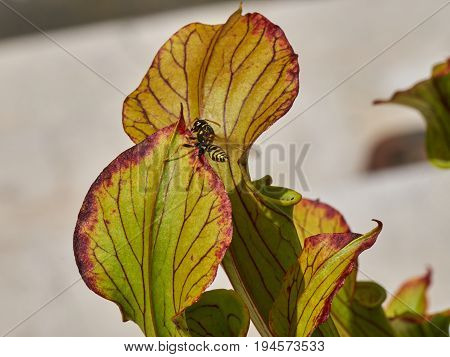 Bee Captured By The Carnivorous Plant