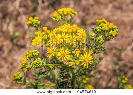 Closeup of yellow budding and flowering common ragwort or Jacobaea vulgaris on a sunny day in the beginning of the summer season.