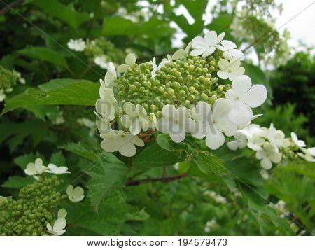 Guelder rose with flowers, Viburnum opulus, in garden