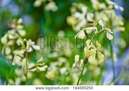 Arugula Flower Rucola Blossom Spring Garden Countryside