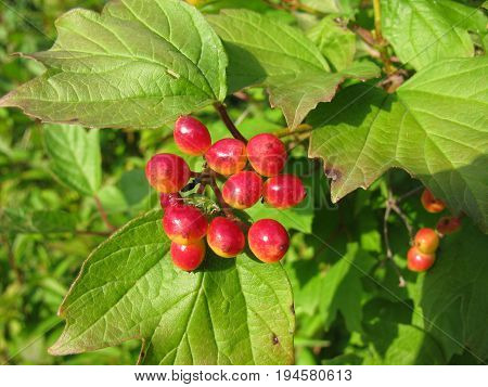 Guelder rose with fruits, Viburnum opulus, in garden