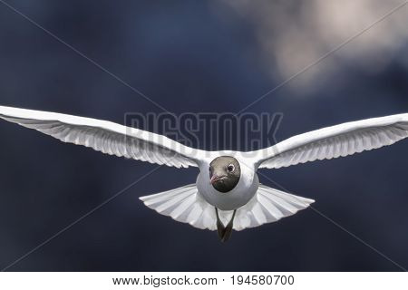 Black-headed gull (Chroicocephalus ridibundus) head on in flight. Flying towards camera. Blurred blue background with copy space. Nature and wild bird image.