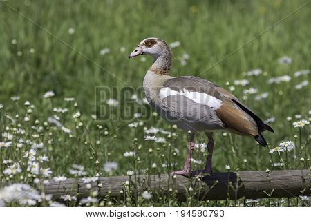 Egyptian goose (Alopochen aegyptiaca) summer rural countryside scenic image. Bird standing on a fence in beautiful profile against blurred daisy field background. Nature scene with copy space.