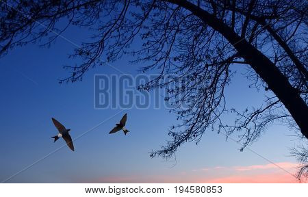 Common house martin birds over evening sky background