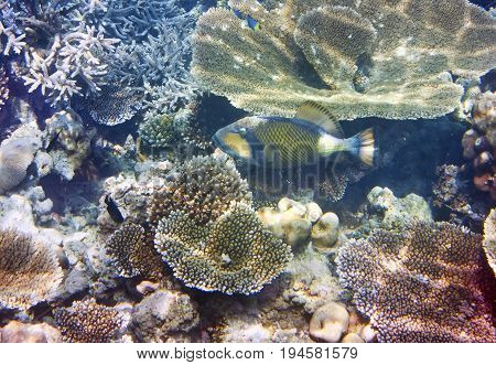 triggerfish (Balistidae) over a coral reef the Indian Ocean