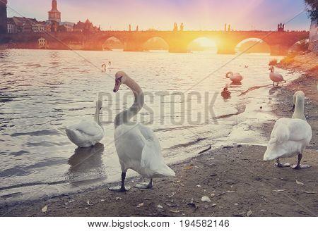 Prague. Swans on the Vltava River and Charles Bridge on a background. retro effect