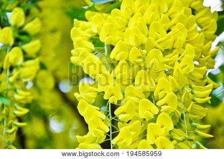 Golden Rain Tree Cassia Fistula Laburnum Flower Yellow Spring