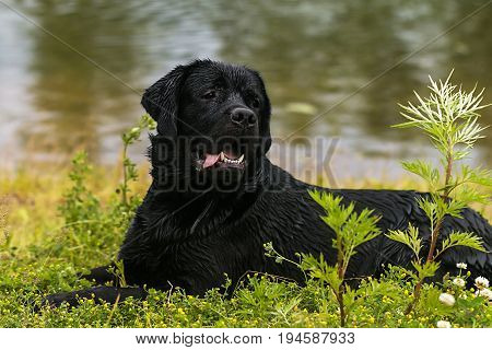 big black dog labrador retriever, adult purebred lab in summer green park on the grass in sunshine