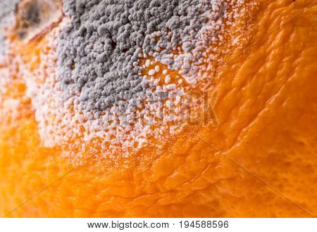 Closeup of musty orange with gray mold. Moldiness