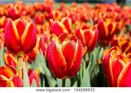 Tulip Flowers Blooming in the Spring Season