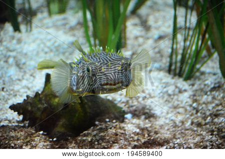 Up close face of a striped burrfish swimming underwater.