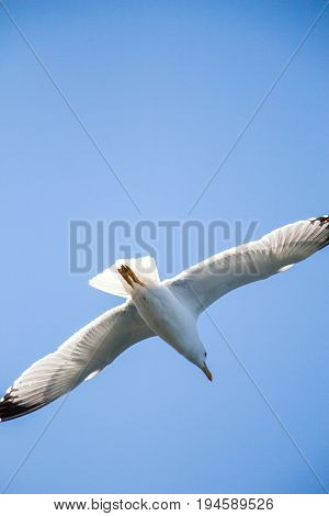 Single Seagull Flying In A Sky
