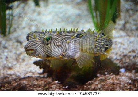 Amazing striking green eyes on a spiny boxfish underwater.