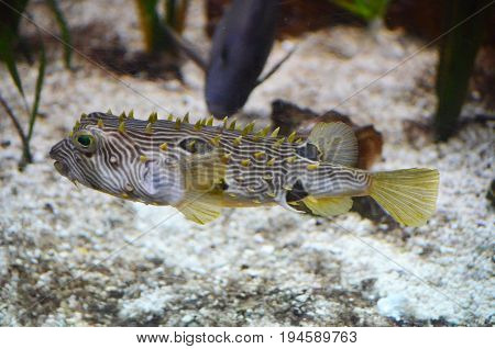 Fantastic side profile of a striped burrfish underwater.