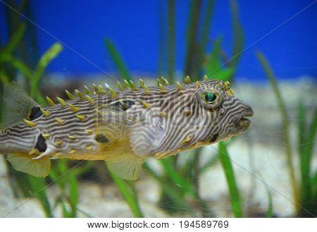 Striped burrfish hiding amongt tall eel grass.