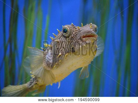 Underwater look at the striped burrfish swimming in eel grass.