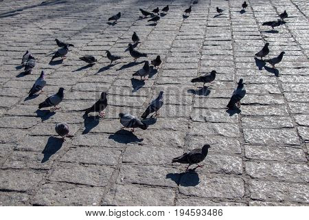 Pigeons on a stone pavement in the street