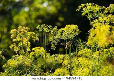 Blooming fennel in a summer garden. Blossoming dill. Dill seeds