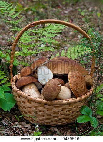 Wicker basket is full of mushrooms. Ceps (Boletus edulis) .
