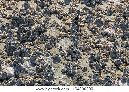 Patterns And Textures Of  Rock Covered In Barnacles Background