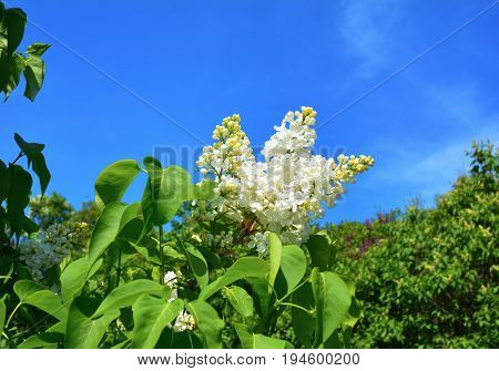 Lilac. White Lilac flowers. Blooming bush of white lilacs in spring. Beautiful flowers of white lilac.