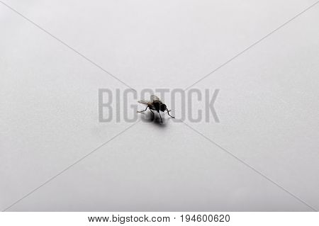 Insect (Flies)- fly on white floor background