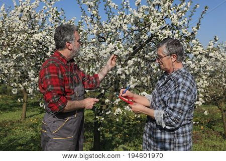 Agronomist and farmer examine blooming cherry trees in orchard and writing