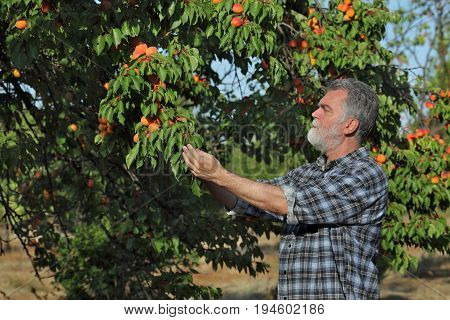 Farmer Examining Apricot Fruit In Orchard