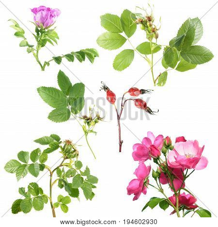 Different types of rose with flowers and rose hips isolated on white background. Branch of rose with green leaves and rose hips