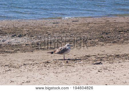Juvenile European herring gull or Larus argentatus close-up portrait at sea shore selective focus shallow DOF.